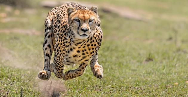 Een jachtluipaard is het perfecte voorbeeld van Lean en Mean